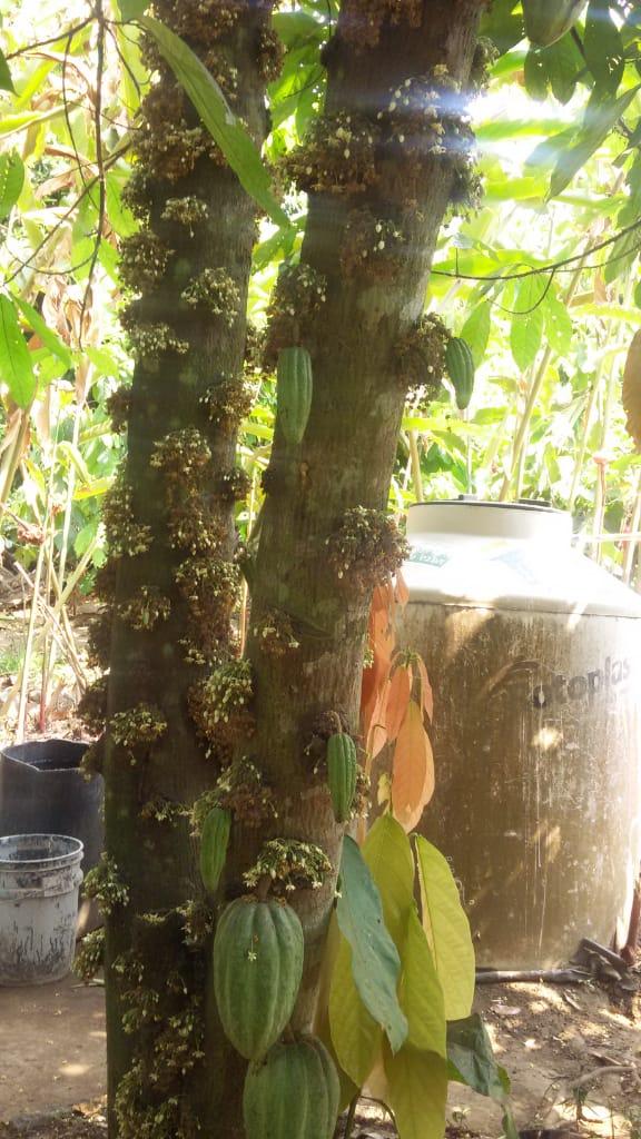 Los Árboles de Cacao de la compañera Norma 1