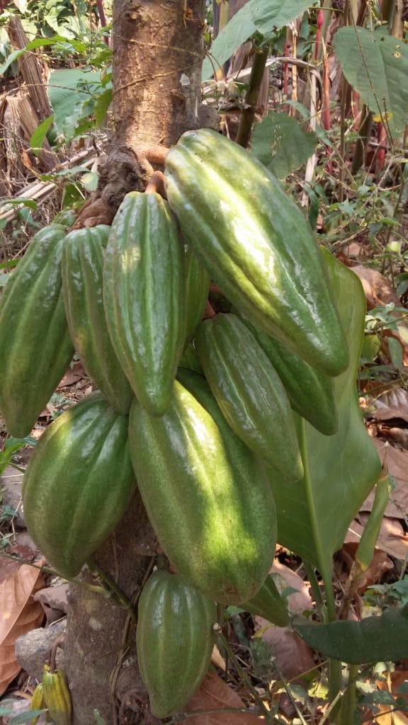 Los Árboles de Cacao de la compañera Norma 2