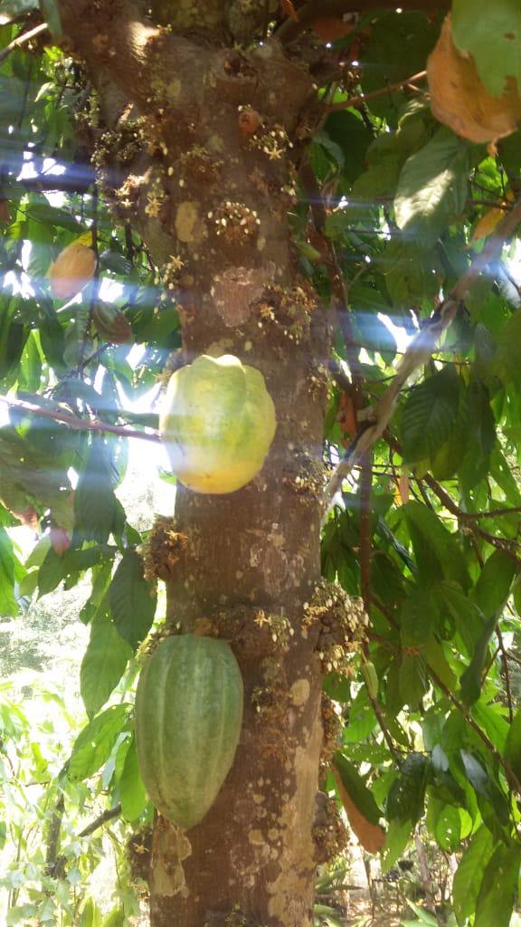 Los Árboles de Cacao de la compañera Norma 3
