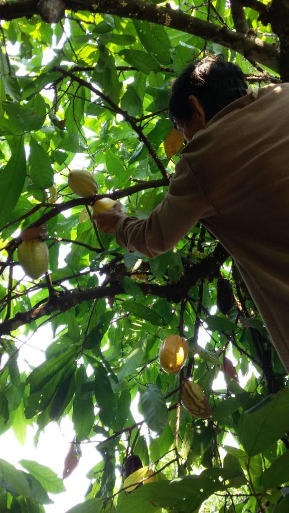 Los Árboles de Cacao de la compañera Norma 4