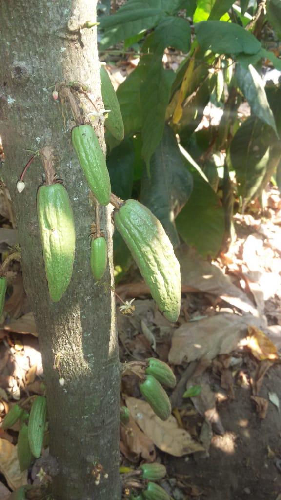 Los Árboles de Cacao de la compañera Norma 5