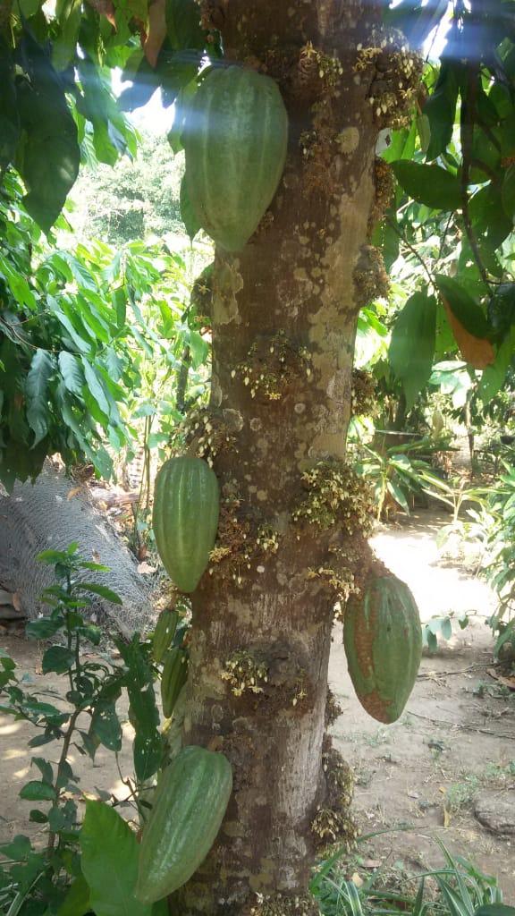 Los Árboles de Cacao de la compañera Norma 6
